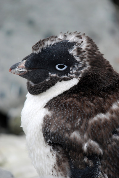 Young Adelie penguin, Antarctic 2010