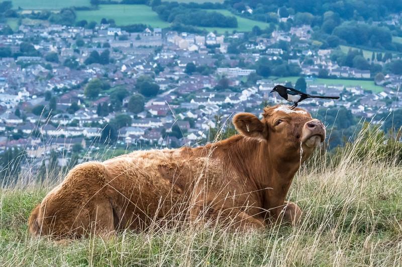 Cow peckers-9287.jpg