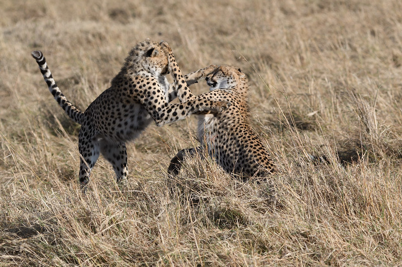 Juvenile Cheetah play fighting