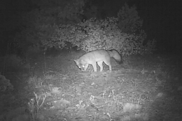 Is this the same fox? It looks like it's a female from the squat pee/marking it made near the scat.
