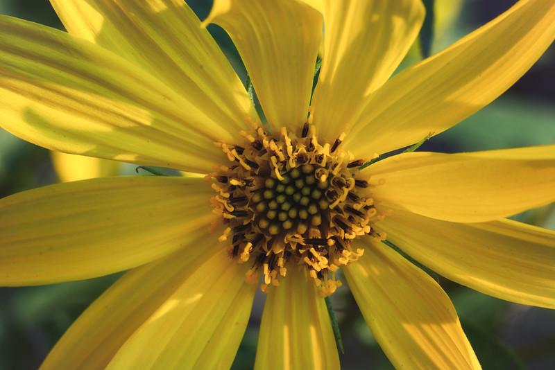 Texas yellow wildflower 121214-.jpg