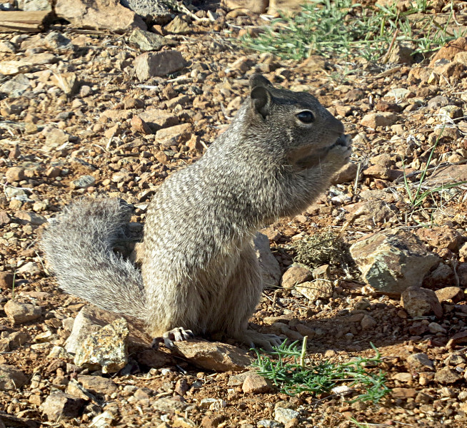 Rock Squirrel sitting up.jpg