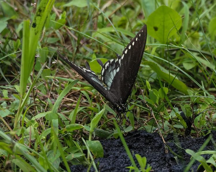 Spicebush Swallowtail, male