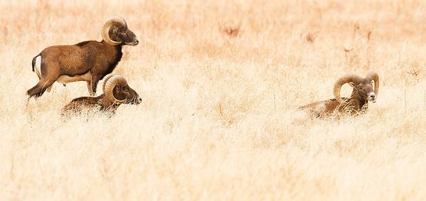 European Mouflon (Muflón)
