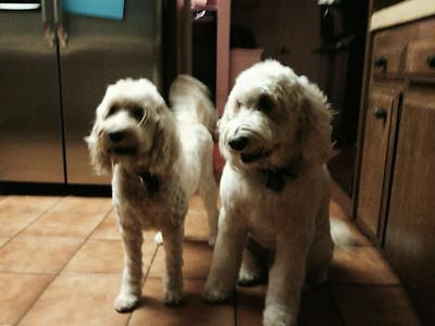 Pups Get Shaved