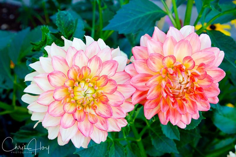 Dahlia Peaches.jpg