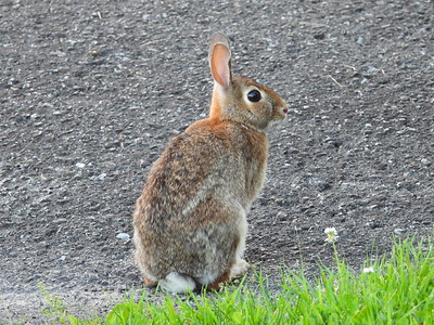 20200616 Eastern Cottontail