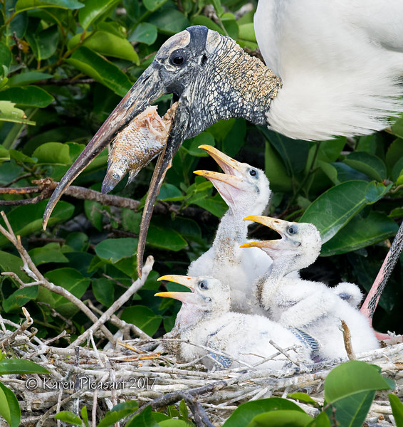Woodstork feeding babies