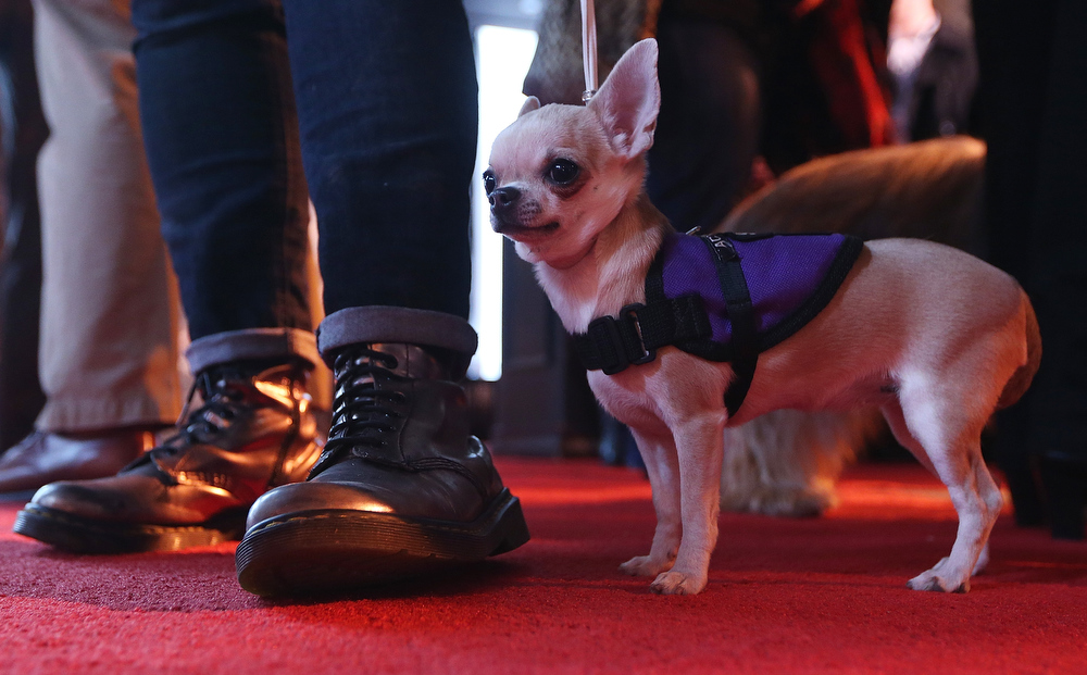 . Mia, a Chihuahua , stands at a press conference kicking off the 137th Annual Westminster Kennel Club Dog Show on February 7, 2013 in New York City. This year\'s event will feature two new breeds, Treeing Walker Coonhounds and Russell Terriers and will take place February 11 and 12.  (Photo by Mario Tama/Getty Images)