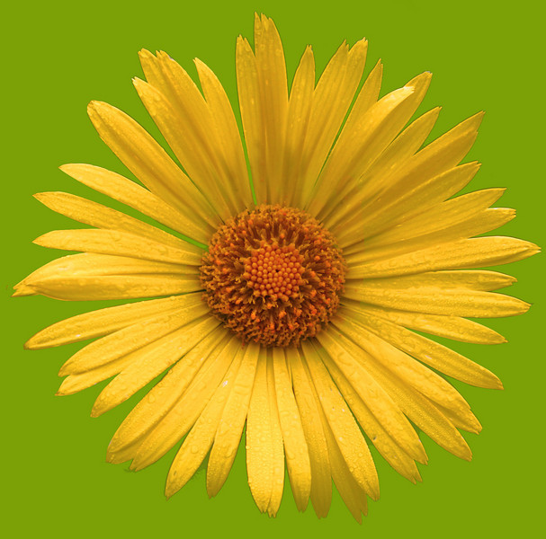 daisy IMG_3326rt green.jpg