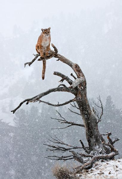 Cougar_Tree_ExtandedForCanvas.jpg