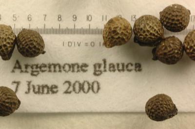 Argemone glauca