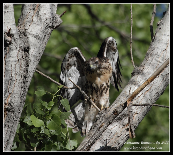 Red-tailed Hawk Juvenile getting ready for probably first flight, Covington Park, Morongo Valley, Riverside County, California, May 2013