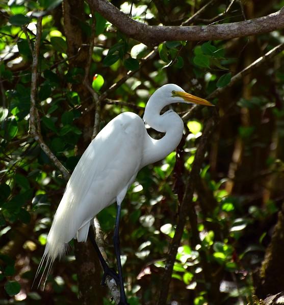 White Egret, Everglades Park FL