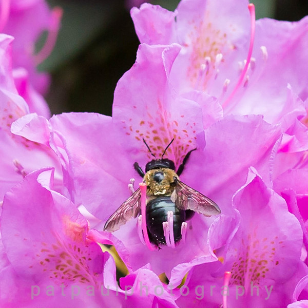 Rhododendron-4.jpg