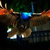 Peacock Landing - 2 (0725)