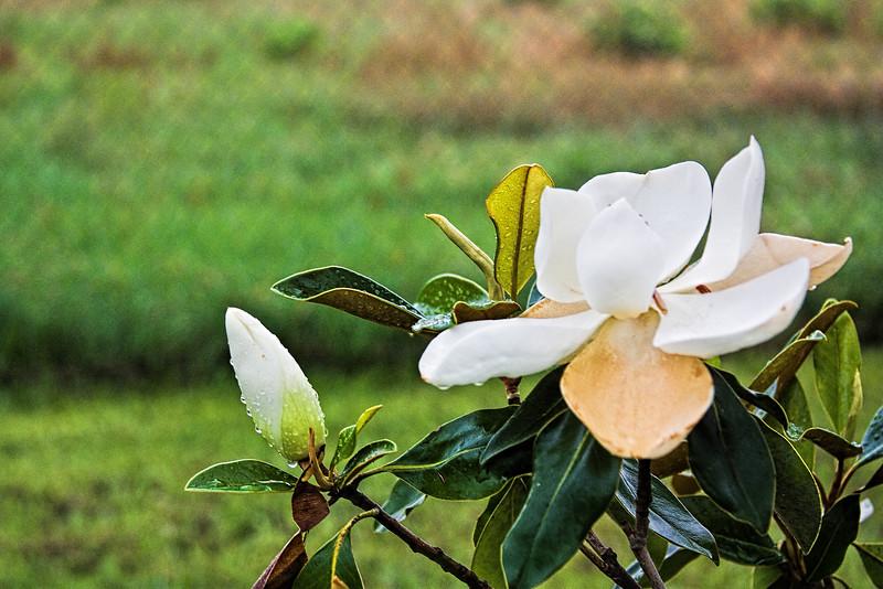 Magnolia in Bloom.jpg