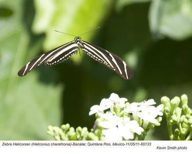 ZebraHeliconian60133.jpg