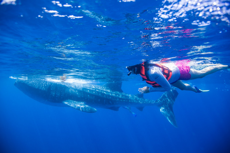 Swimming with the Whale Sharks in Mexico