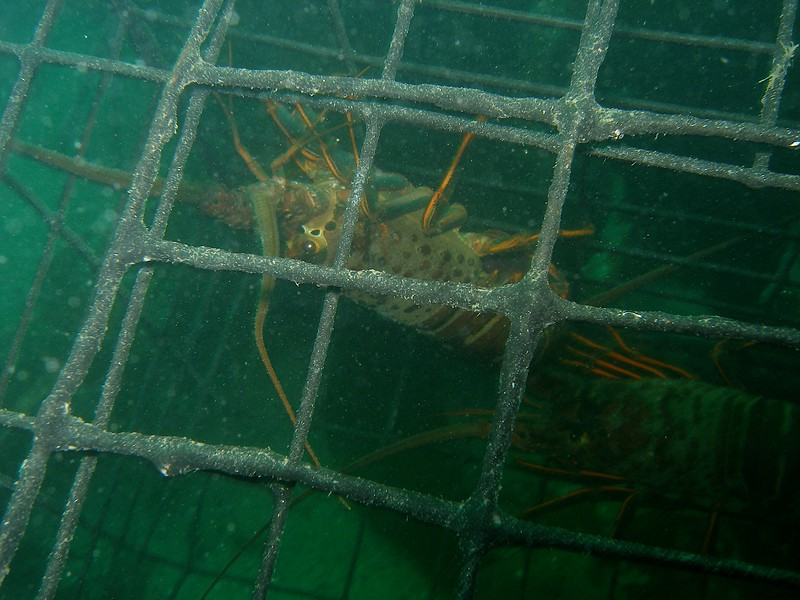 California Spiny Lobsters in a Commercial Lobster trap
