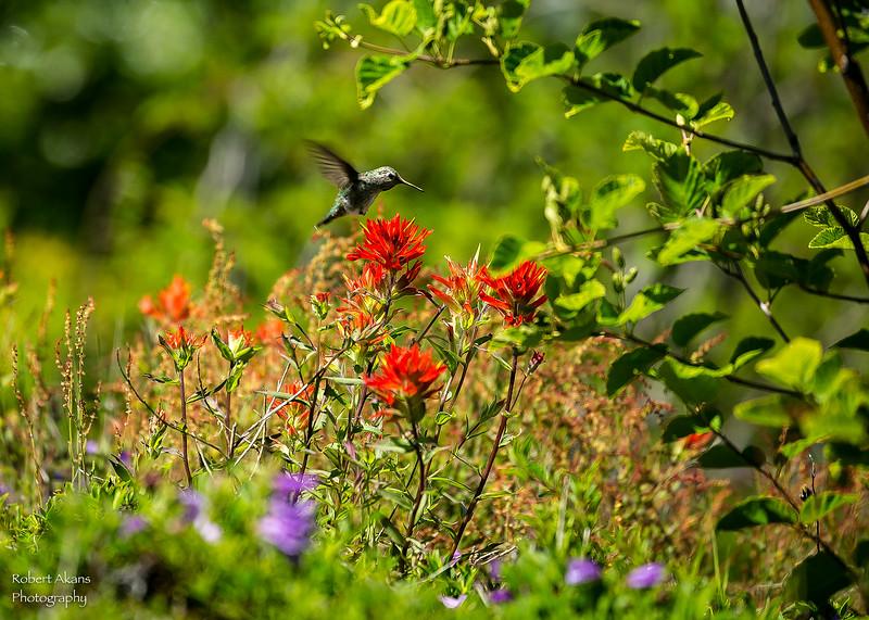 Mt St Helens Hummingbird 3877.jpg