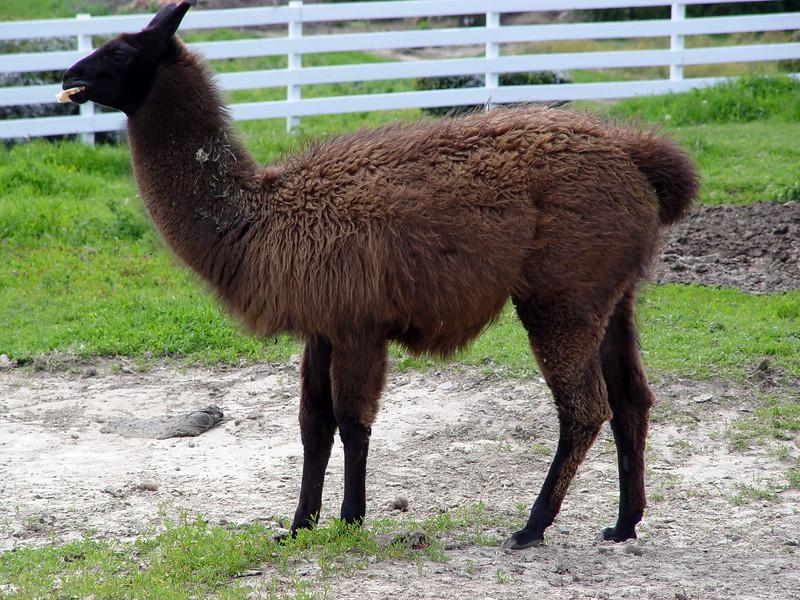 Llama - Clover