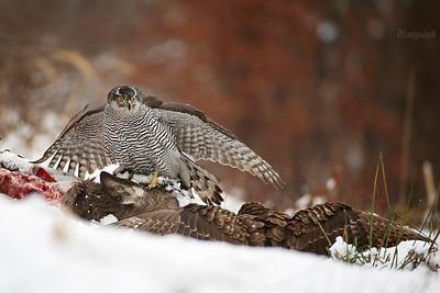 Jastrzębie / Hawks