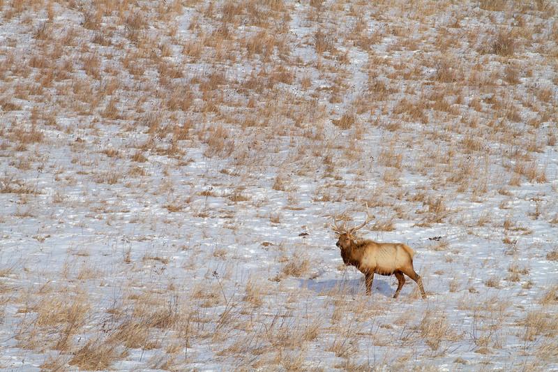 Elk bull Neal Smith National Wildlife Refuge NWR Prairie City IA IMG_2223.jpg