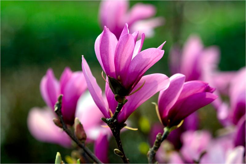 20120323_magnolia_09.png