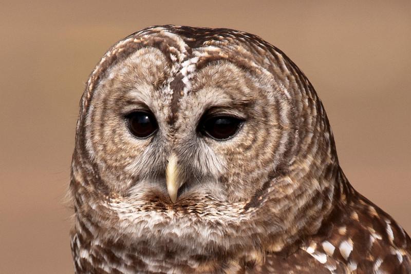 Owl - Barred - (captive) - Houston, MN-01