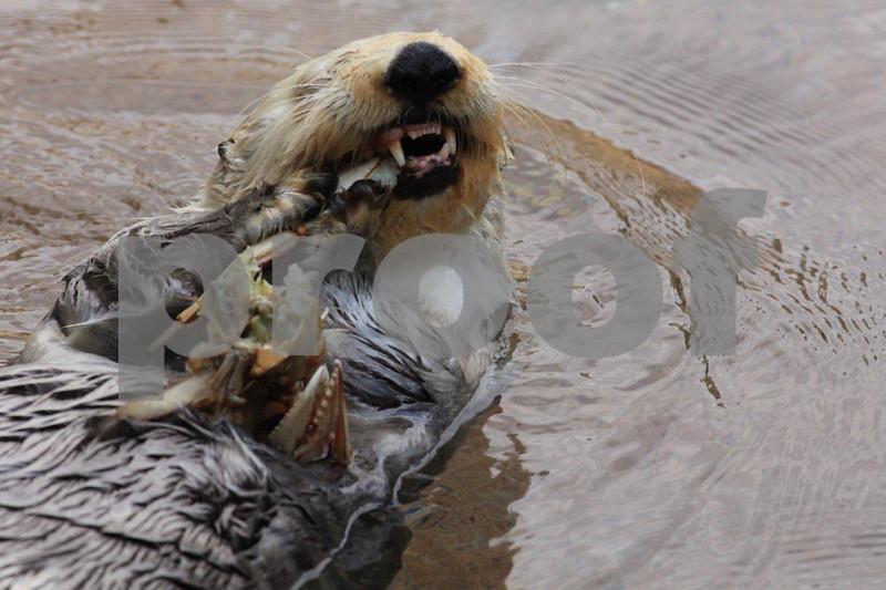 Sea otter 2919.jpg