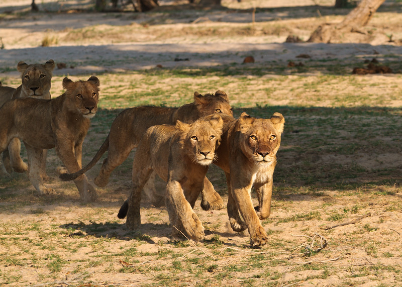 Young Lions, Zambia, Africa