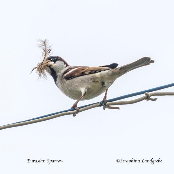 _DSC8361Eurasian Sparrow.jpg