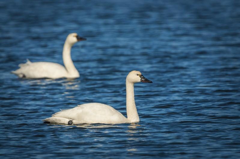 Tundra Swans Two.jpg