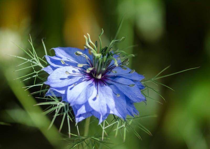 Perwinkle flower 2.jpg