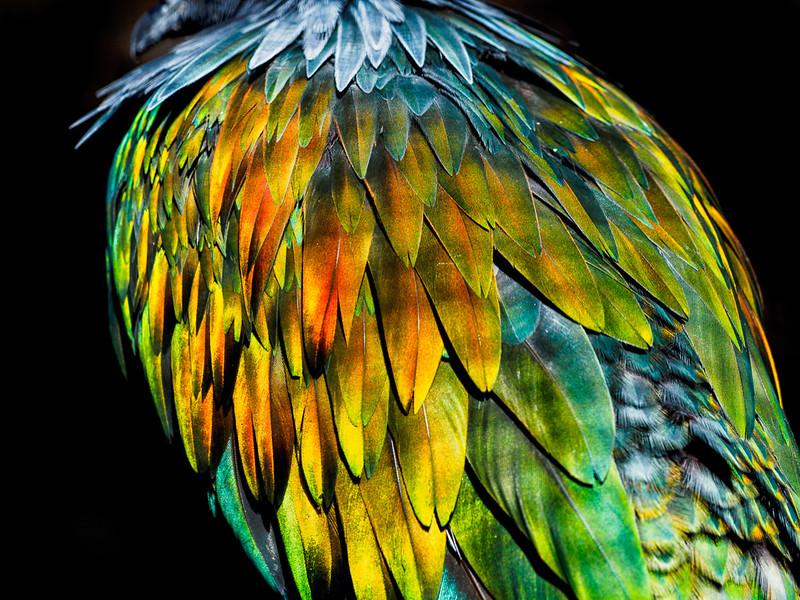 Nicobar Pigeon Feathers_1.jpg