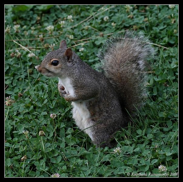 Eastern Gray Squirrel, Mason Neck State Park, Virginia, June 2008