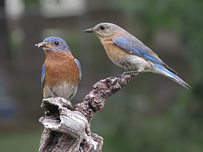 sx50_ben_faith_bluebird_boas_516.jpg