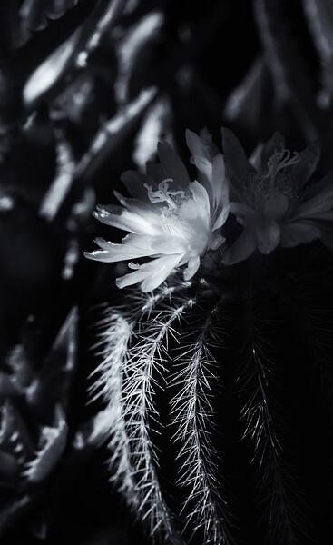 cactus flowers 060520 2-.jpg