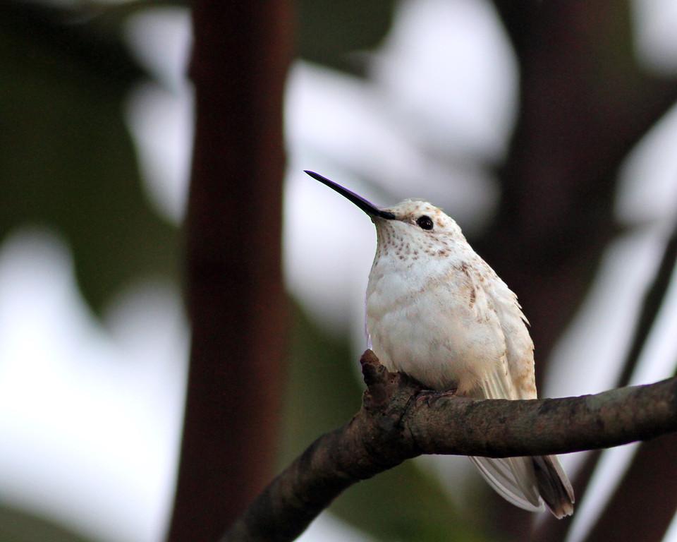 Ruby Throated Hummingbird @ Innis Woods MP