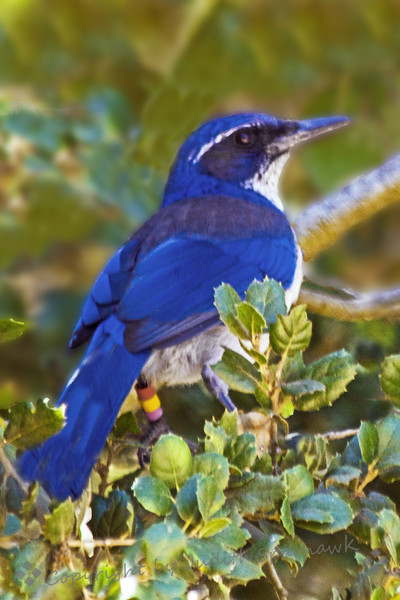 Island Scrub Jay ~  This jay lives only on Santa Cruz Island, in the Channel Islands off of the California coast.  For years I've thought of going across the channel from Ventura to see this jay, which would be a life bird for my list.  Last week I fnally did it!  The Island Scrub Jay is much brighter blue, is somewhat larger, and has a larger bill than the Western Scrub Jay, which occurs in California and most western states.  This view shows the large bill and the bright blue feathers.  It was a wonderful feeling finally to see this bird which is endemic to such a small island.