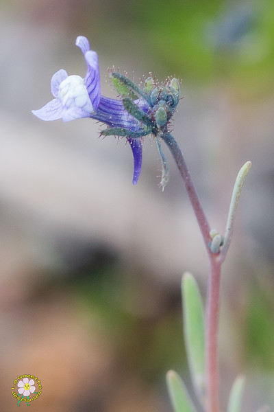 Linaire des champs (Linaria arvensis)