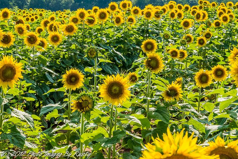Sun Flowers-8.JPG