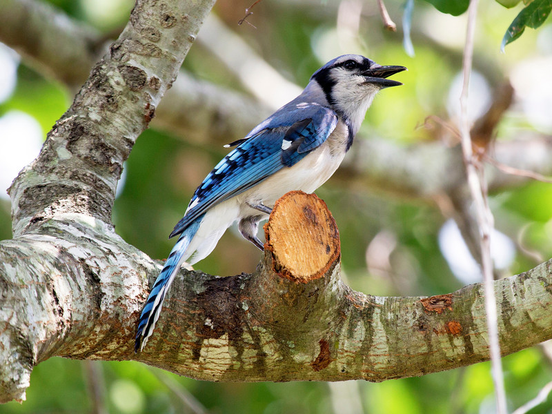 Bluejay in a cropped tree