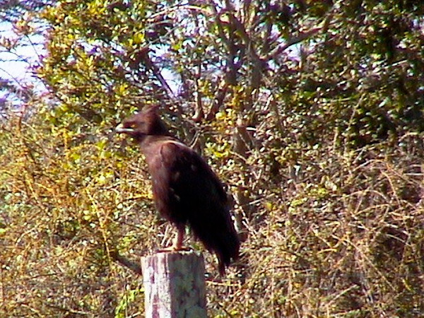 Long Crested Eagle_0158