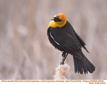 YellowHeadedBlackbirdM60028.jpg