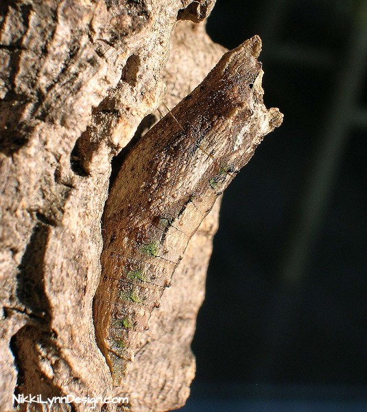 Eastern Swallow Tail Chrysalis