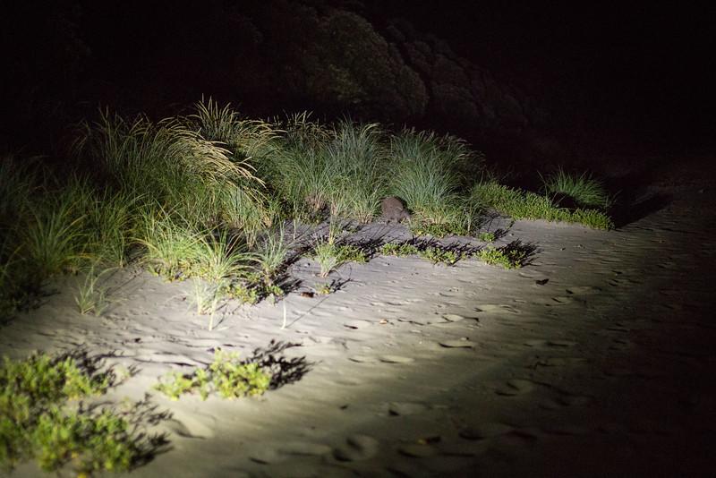 Kiwi on the beach, with Bravo Adventure Cruises on Rakiura