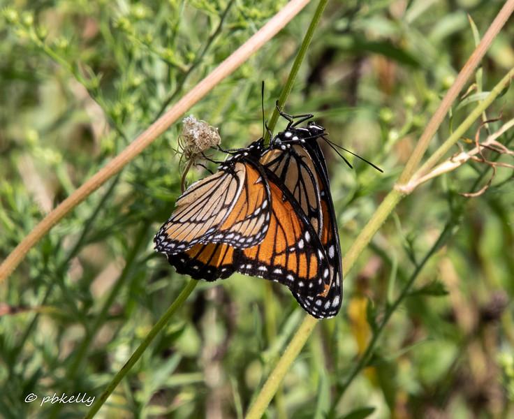 monarchs 090419.jpg