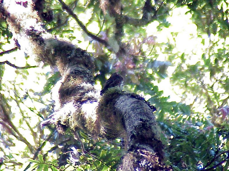 Costa Rican Pygmy-Owl at Savegre Mountain Lodge Costa Rica 2-14-03 (50898110)